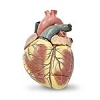 Pre-Owned Giant 3-Part Heart Model by Nasco